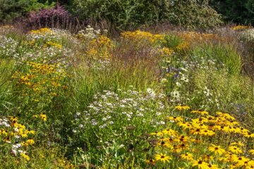 Aster dumosus, Japanese blood grass, Rudbeckia fulgida