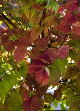 fall foliage, hummingbird vine