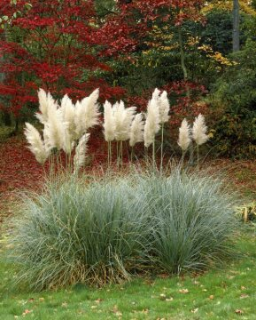 Autumn, Cortaderia selloana
