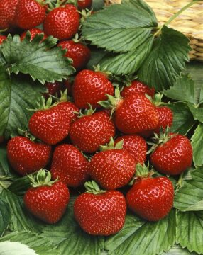 strawberry (Genus), Strawberry