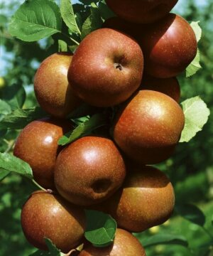 Fruit / Fruit Trees «Pflanzengruppen», Fruit, Malus domestica, red