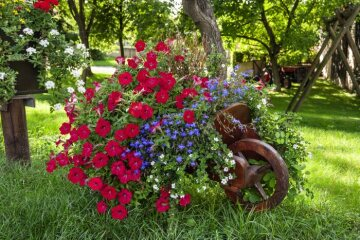 lobelia (Genus), Mixture (Mix), petunia (Genus)