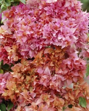 bougainvillea (Genus), Bougainvillea Sp. (Genus)