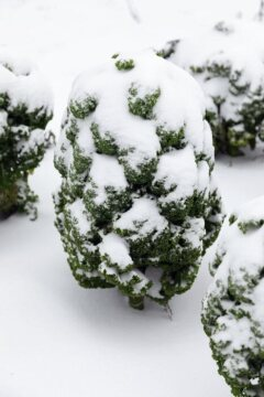 Kale, snow, Winter, Wintergemüse