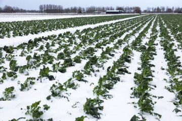 Cauliflower, Feld, snow, Winter, Wintergemüse